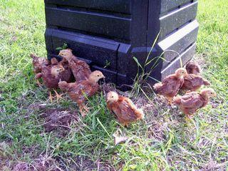 WED chicks