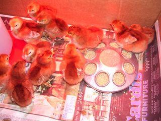 Fri chicks