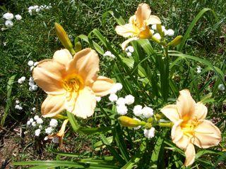 7-15 circus peanut lilies