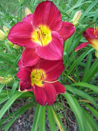 7-16 double magenta lilies