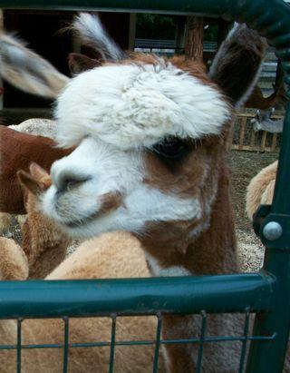 8-14 alpaca 2
