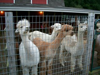 8-14 alpaca group