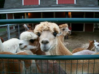 8-14 alpaca 1