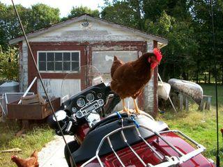 1010 chicken 1