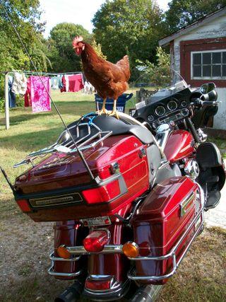 1010 chicken 2