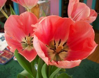 4-11 tulips