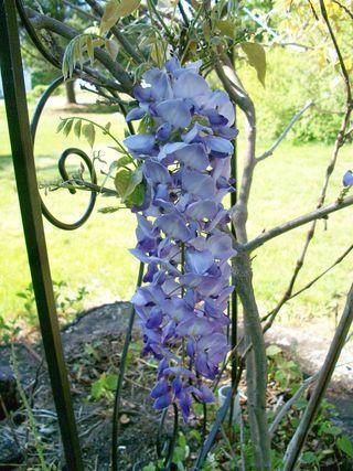 5-7 wisteria 1