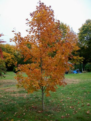 Oct 26 young maple