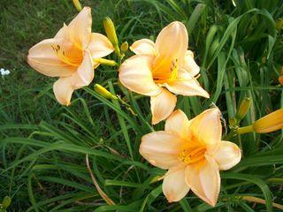 7-8 3 peach lilies