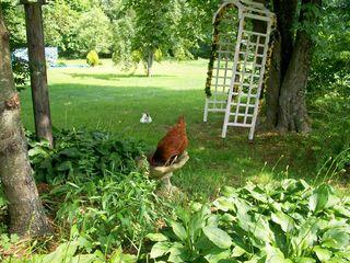 7-1 chicken in a birdbath