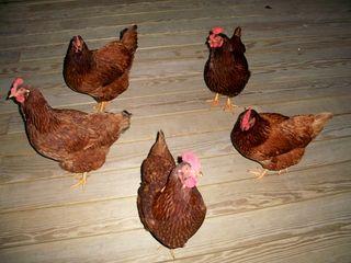 12-3 chicken circle