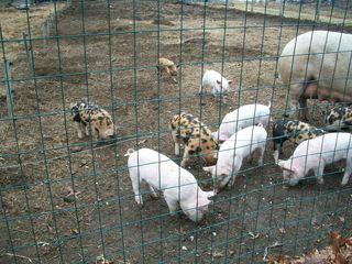 3-13 pigs 3