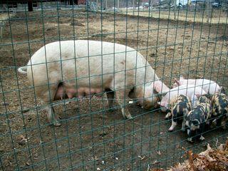 3-13 pigs 2
