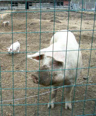 3-13 mama pig