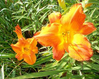 7-11 bright orange gold pair
