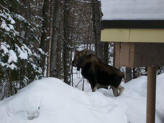 Moose 002