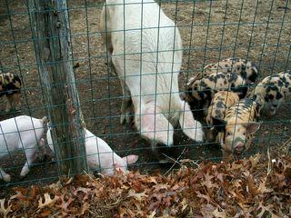 3-13 pigs 1