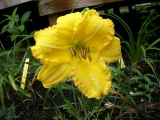 7-15 new yellow lily