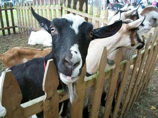 10-13 goat closeup