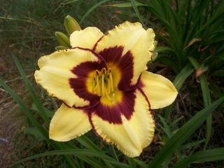 7-20 old fashioned lily