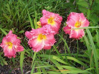 7-29 rosy quartet