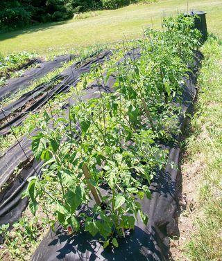 6-24 tomato plants