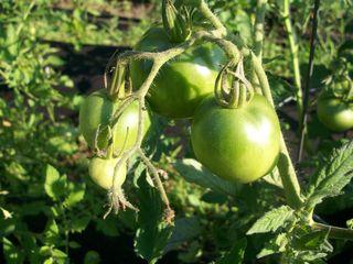7-22 tomatoes