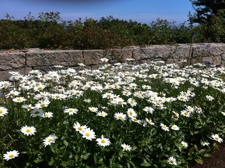 Harkness daisies