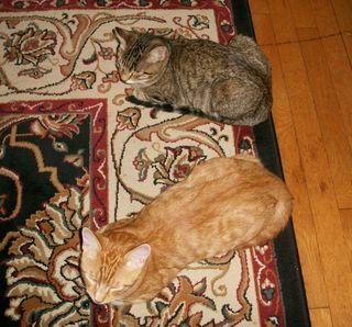 9-20 kittens