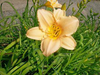 7-5 peach lily