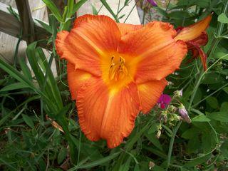 7-28 orange lily