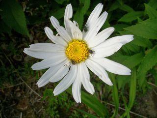 7-4 buggy daisy