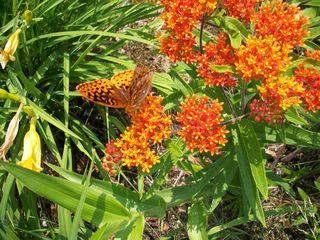 7-5 orange butterfly
