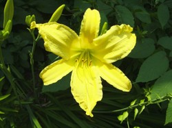 Sun_yellow_lily