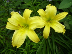 2_yellow_lilies