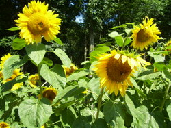 Wed_725_sunflowers_005