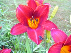 Thurs_spider_lily