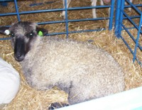 Thurs_curly_sheep