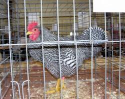 Chickn_1