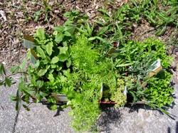 Wed_herbs